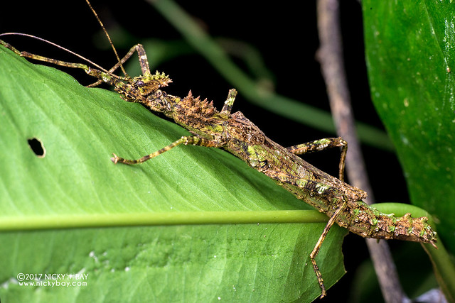 Mossy stick insect (Phasmatodea) - DSC_8972