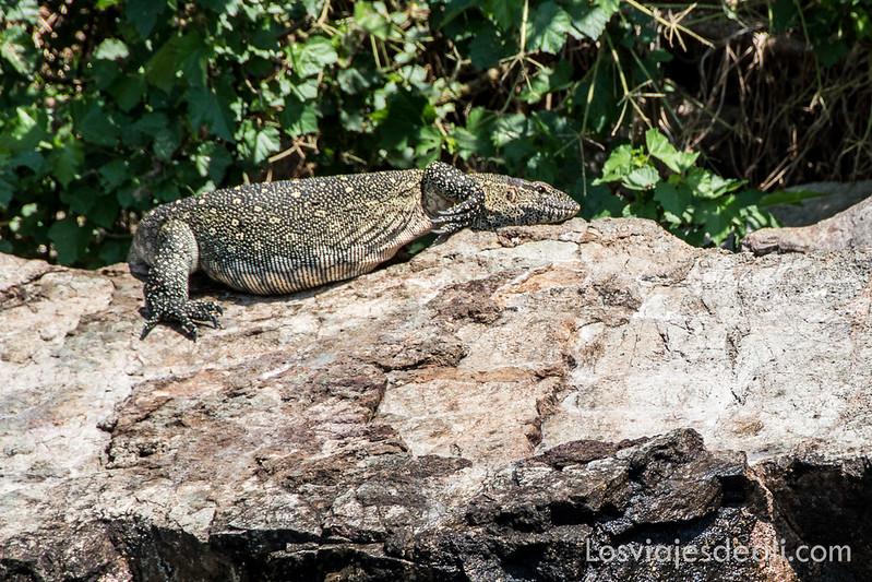Lago Victoria lagarto monitor