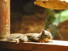 Sunbathing Squirrel