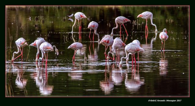 Catorze flamencs 16 (Phoenicopterus roseus) Fourteen flamingos 16 (El racó de l'Olla, València, l'Horta, Spain