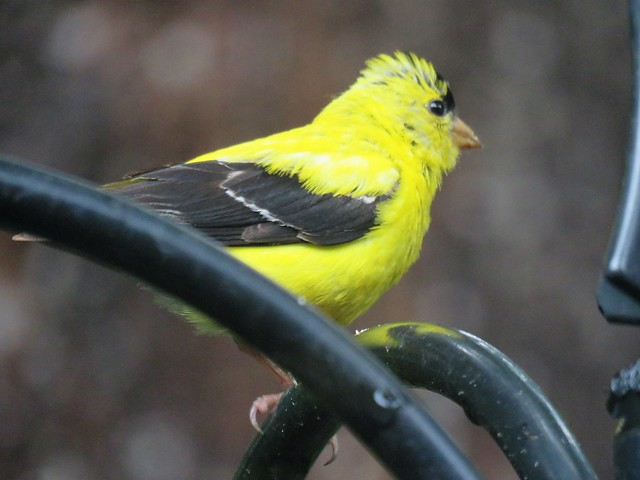 Nothing Like a Bright Goldfinch to Brighten a Dark Cloudy Day