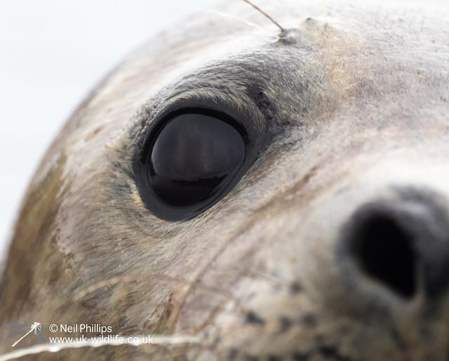 Seal-17