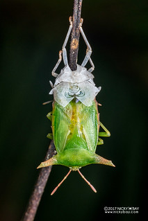 Giant shield bug (Pygoplatys sp.) - DSC_7991