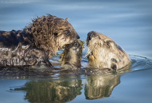 Sea Otter Mom feeding Pup some Crab
