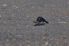 Willie Wagtail ( lunch )