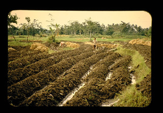 Sweet Potato Cultivation Or The High Mound = カンショの高畦栽培