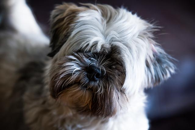 Lhasa Apso Puppy Portrait