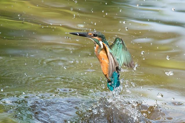 20170910-kingfisher-DSC_2695