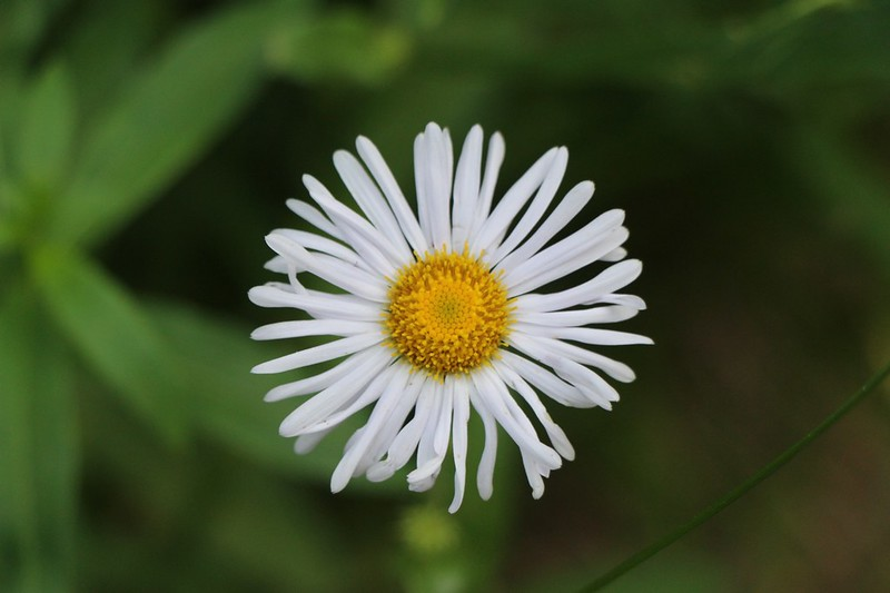 White Aster on the Buck Creek Trail
