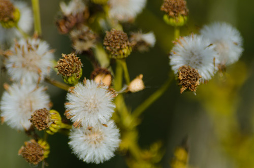 Seed heads, ragwort
