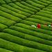 Tea field/Black Sea Region/Turkey by Binnur Can