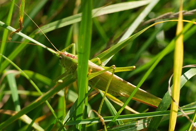Grasshopper, Ludwigschorgast, Sep 2017