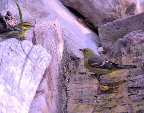 Townsend's Warbler and tanager 20170911