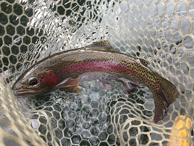 wild trout on the McKenzie River