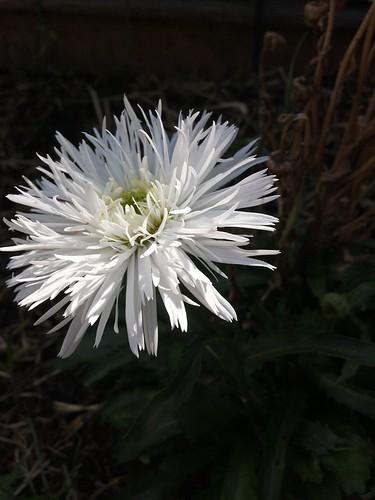 Shasta daisy 'Crazy Daisy'