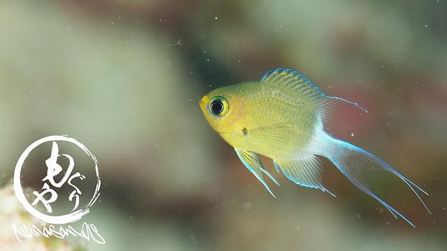 しっぽが可愛い。マルスズメダイ幼魚