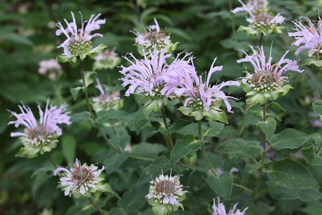 a dozen bee balm flowers, just past peak