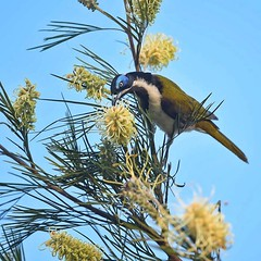 During the #winter months in #brisbane we get plenty of visitors on our local #gravillea this blue faced #honeyeater was today's visitor that I got a capture of.