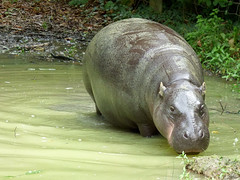 Cerza Zoo - pygmy hippopotamos. - Photo of Manerbe