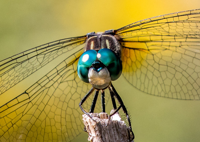 Blue Dasher in the garden.