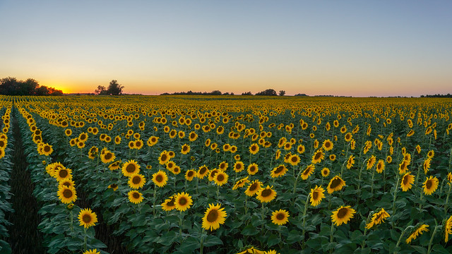 Sunflower Sunset Panorama