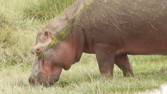 Hippo_closeup