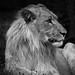 lion king by Basileia Gorgo
