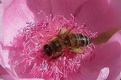 Abeja/Honey Bee