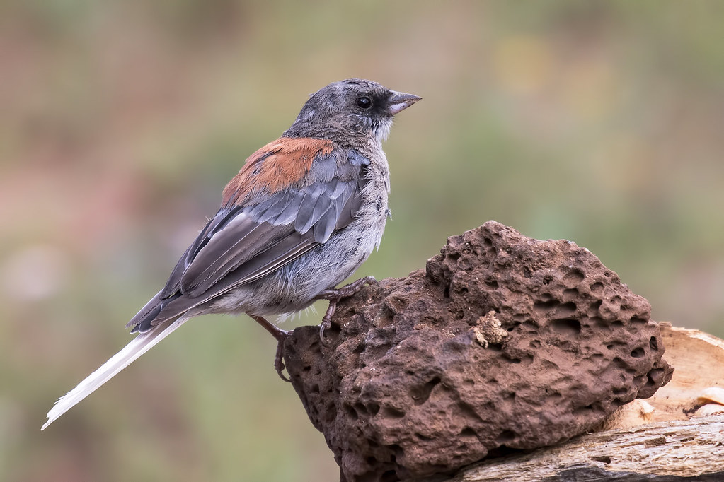 Dark-eyed-Junco(Red-back)-3-7D2-081217