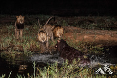 Lions_chased_by_hippo_Sabi_Sand_0533.jpg