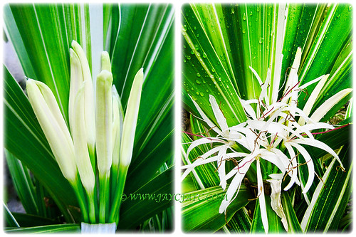 Crinum asiaticum 'Variegatum' that flowers intermittently all year round