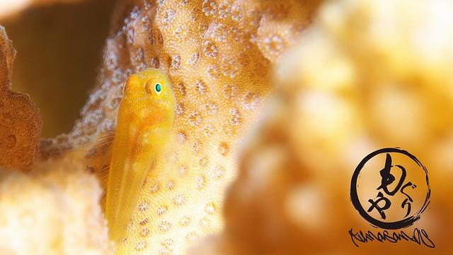 カサイダルマハゼ幼魚ちゃん♪
