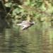 Redshank-