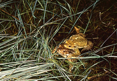 Spiny Toads (Bufo spinosus) pair in amplexus in the pond ...