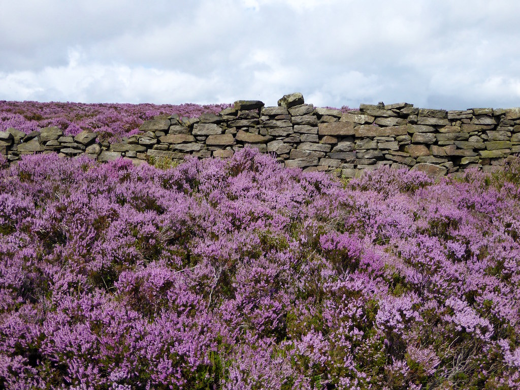 Heather and wall Sheffield to Bamford walk