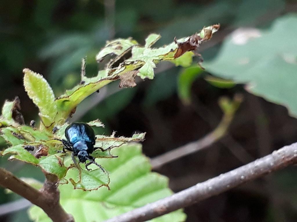 16-3 오리나무잎벌레 성충