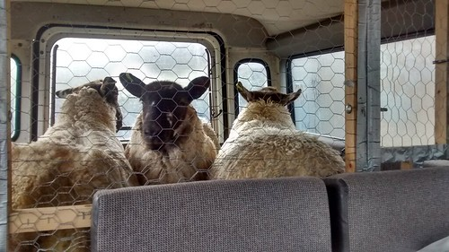 lambs Aug 17 3