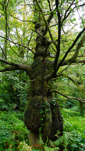 Strange oak, Himley Plantation