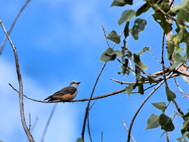 Scissor-tailed Flycatcher adult molting 02-20170814