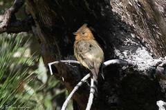 Tufted Flycatcher | Reef Townsite CG | Carr Canyon | Sierra Vista | AZ|2017-08-31|10-05-58.jpg