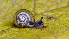 _IMG7916 Snail