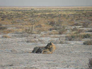 20170902 Etosha 027 Hyena
