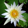 Water lily by PeterCH51