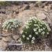 Zennia acerosa