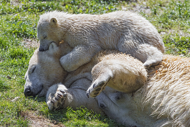 Nanuq playing again with her mother