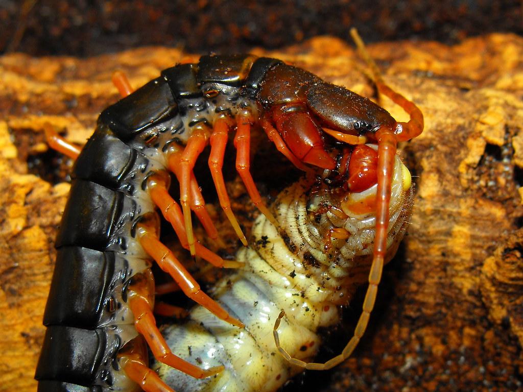 Feeding centipedes | Arachnoboards