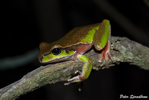 Blue Mountains Tree Frog (Litoria citropa) at Darkes Forest