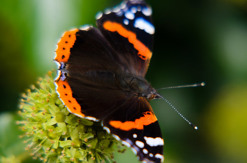 Butterfly autumn: red admiral on ivy flower