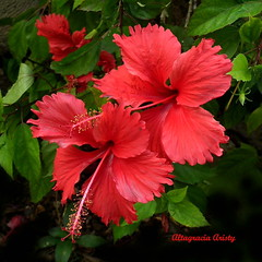 Hibisco/Hibiscus