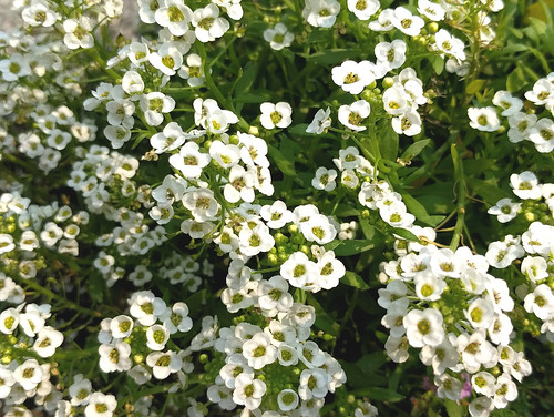 Alyssum close-up